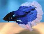Exclusive Betta Fish Dual color Full Moon.