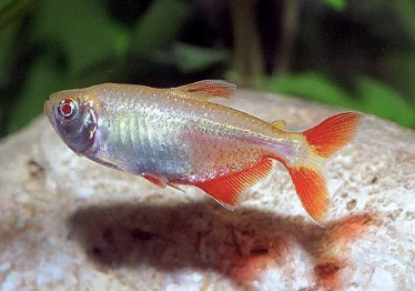 Albino Red Eye Tetra buenos