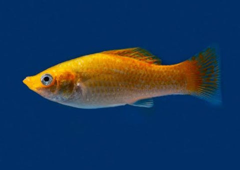 Orange molly fish 1.5 to 2 inch