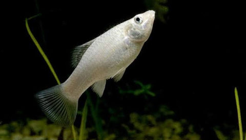 White molly fish 1.5 to 2 inch