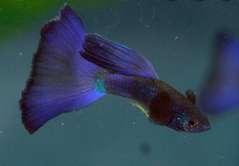 Blue mosic electric guppy
