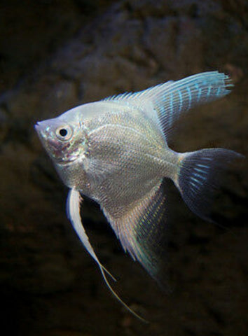 Milky White Plain black eye Freshwater Amazon Riven Angel Fish