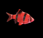 Red Tiger Barb Star Fire
