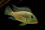 Yellow Horse Face Cichlid