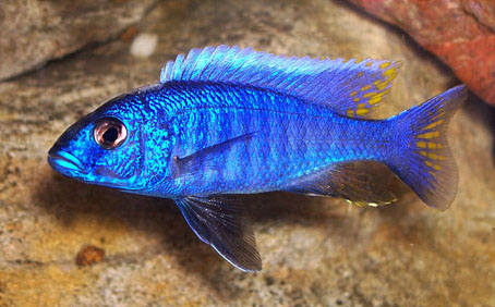 "Electric Blue Cichlid - 2"" -2.5"" inches"