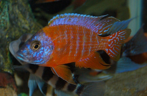 The Red Peacock Cichlid comes from years of breeding and is not a naturally occurring strain. It is red in coloration and has the same form as the other Peacock Cichlids of the same family. ... The Red Peacock Cichlid should be fed a variety of both meaty and vegetable-based foods.