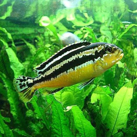 Melanochromis auratus, the auratus cichlid, is a freshwater fish of the cichlid family. It is also known as golden mbuna and Malawi golden cichlid.