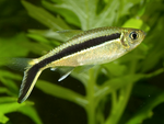 Hockey stick Tetra