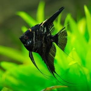 Marble Angel  fish  black