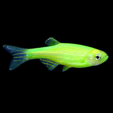 Green zebra glo fish