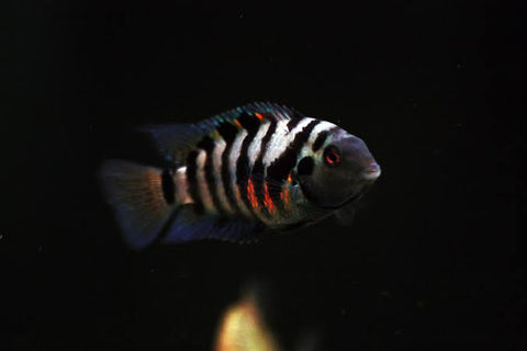 "Convict cichlid 1.5"" to 2"" inch"