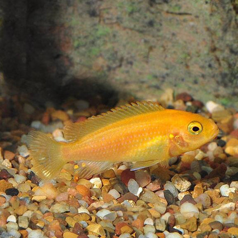"Red Zebra Cichlid 3""-3.5""Inches"