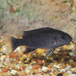 "Acei Cichlid 1.5""-2""inches"