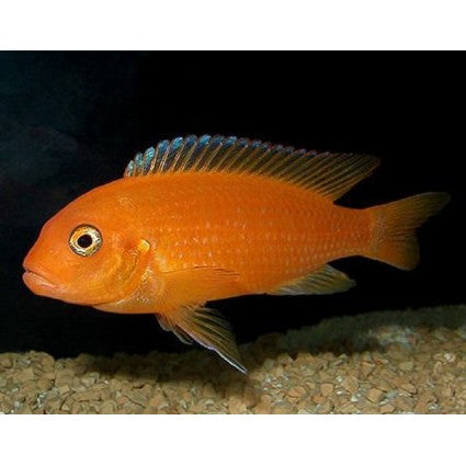 Orange Marf Cichlid