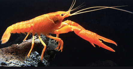 Orange Lobster