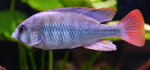 RED TAIL Cichlid