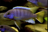 Yellow Tail  Cichlid