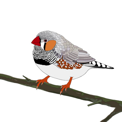 A-Z Australian Animals Zebra Finch Art Print