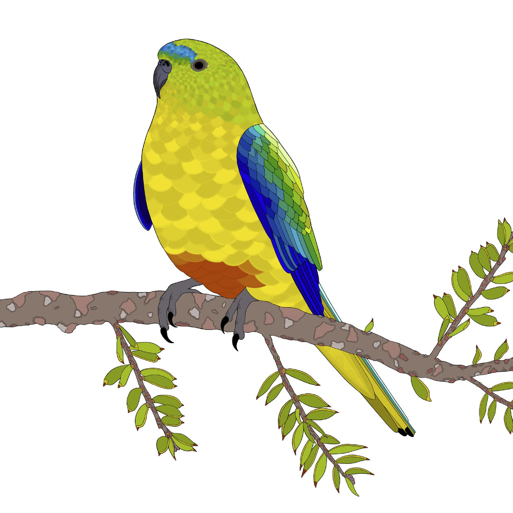 RP - A-Z Australian Animals Orange Bellied Parrot Art Print