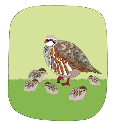 Baby Partridge Art Print