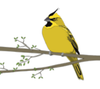 A-Z Yellow Cardinal Art Print