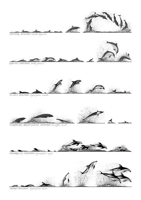 Dolphin Surface profiles A3 Print By Rebecca Robinson