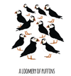 A Loomery of Puffins Art Print