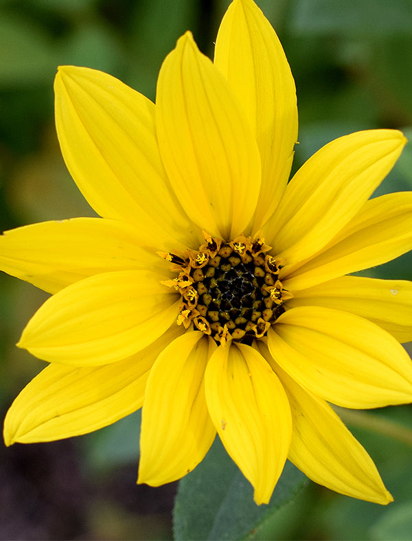 Showy Sunflower