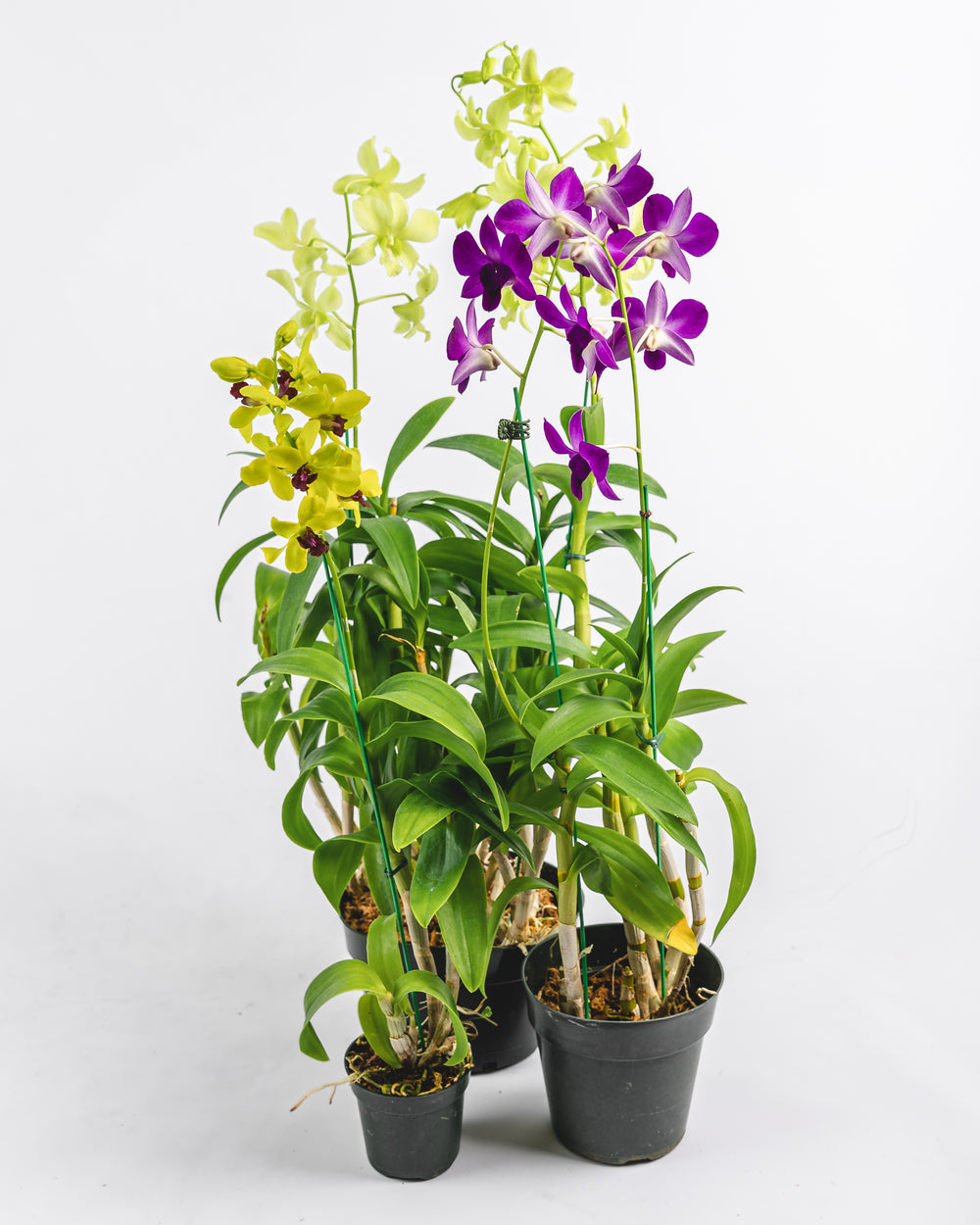 Assorted Dendrobium in Plastic Pot