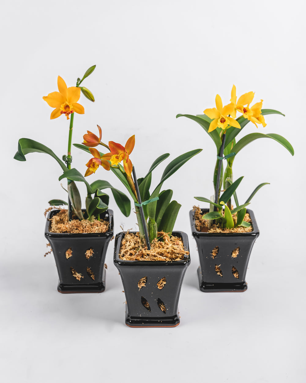 Assorted Cattleya in Ceramic Pot