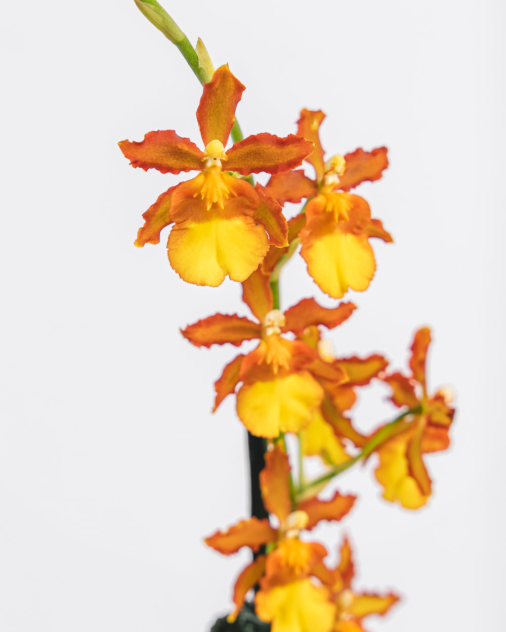 Assorted Intergeneric Orchid in Ceramic Pot