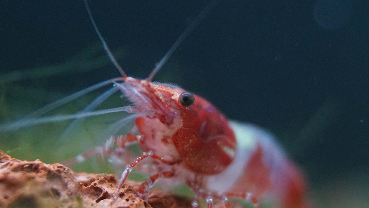 Do Shrimp Need Calcium?