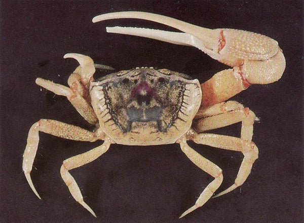 Aquatic Fiddler Crab - Wild Pet Supply