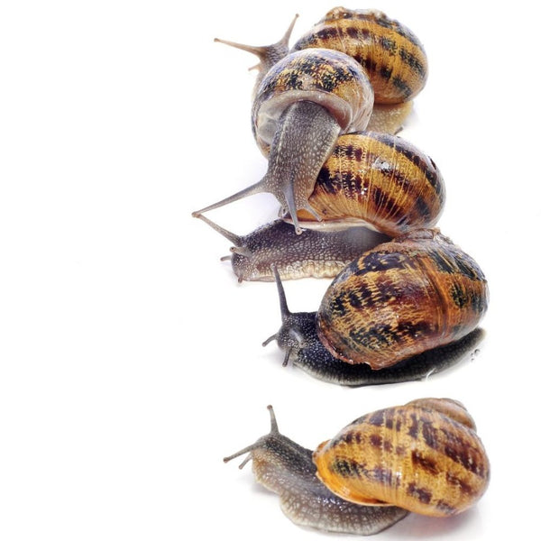 Helix Aspersa Land Snail - Wild Pet Supply