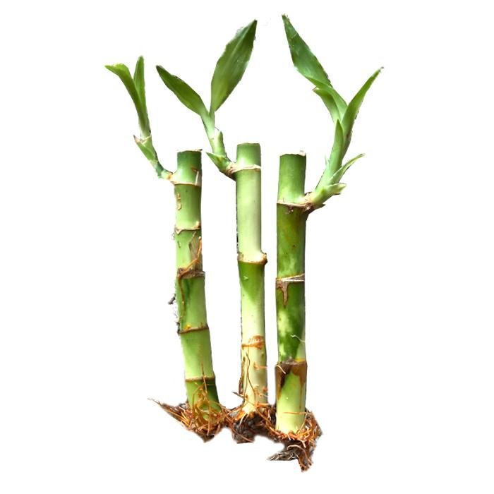 "Individual Lucky Bamboo Sticks 4"" - Wild Pet Supply"
