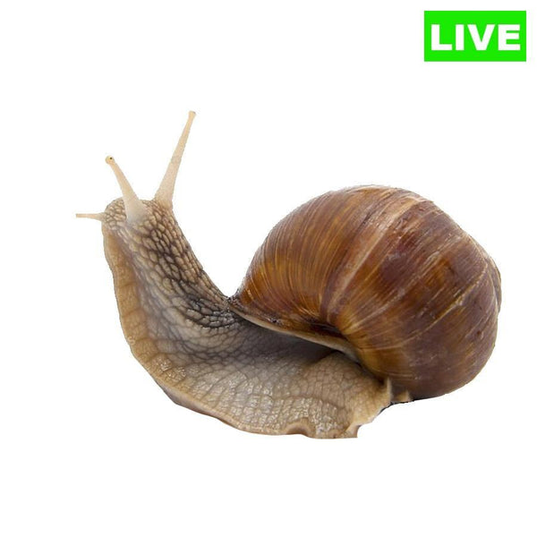 LIVE Helix Aspersa Land Snail - Wild Pet Supply