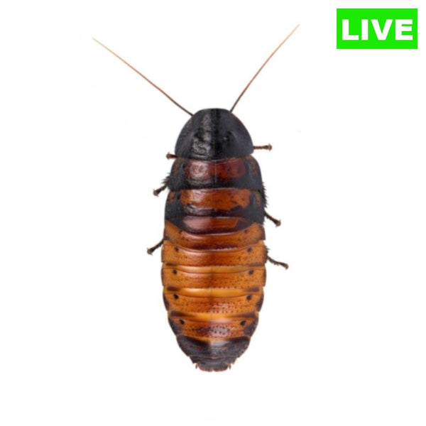 Madagascar Hissing Cockroach - Wild Pet Supply