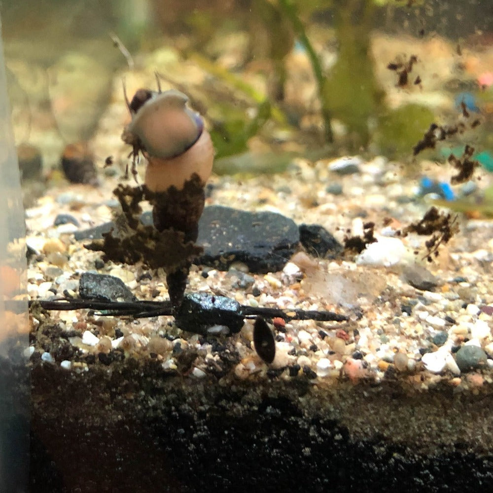 Malaysian Trumpet Snail Pack of 5 - Wild Pet Supply