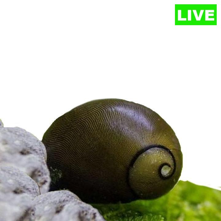 Olive Nerite Snail Pack Of 2 - Wild Pet Supply