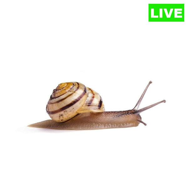 Pet Land Snails Otala Lactea Live 2 Pack - Wild Pet Supply