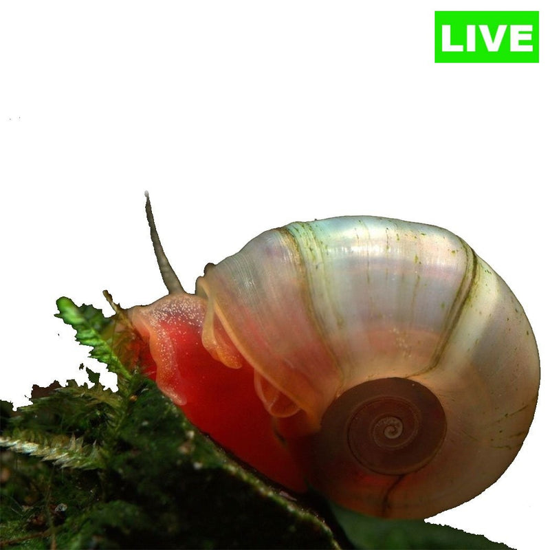 Ramshorn Snails Pack of 5 - Wild Pet Supply
