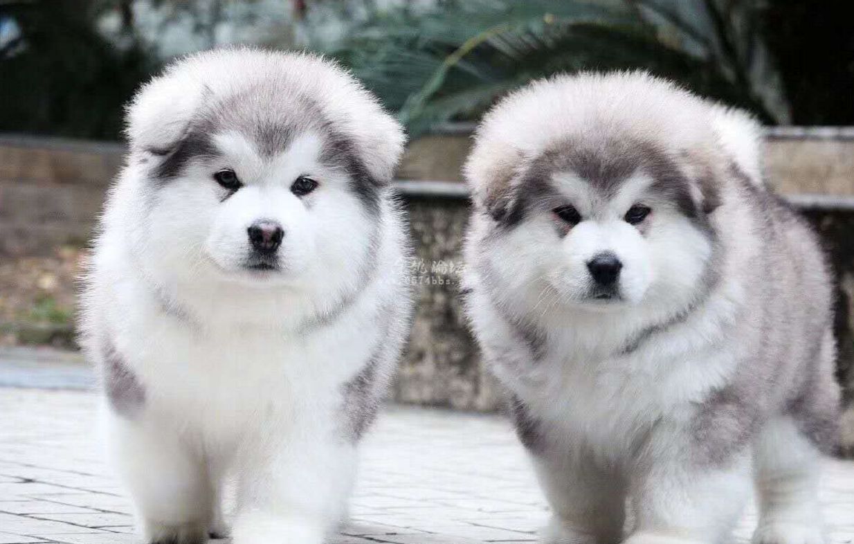 🔥Realistic Alaska puppies Dog Lucky