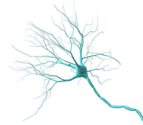 Brain cells, called neurons can be viewed under an electronmicroscope