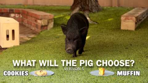 What Will the Pig Choose - Version 5