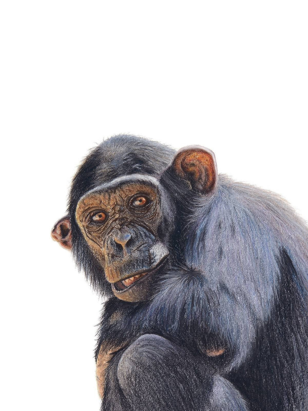 Chimpanzee wildlife giclee wall art print