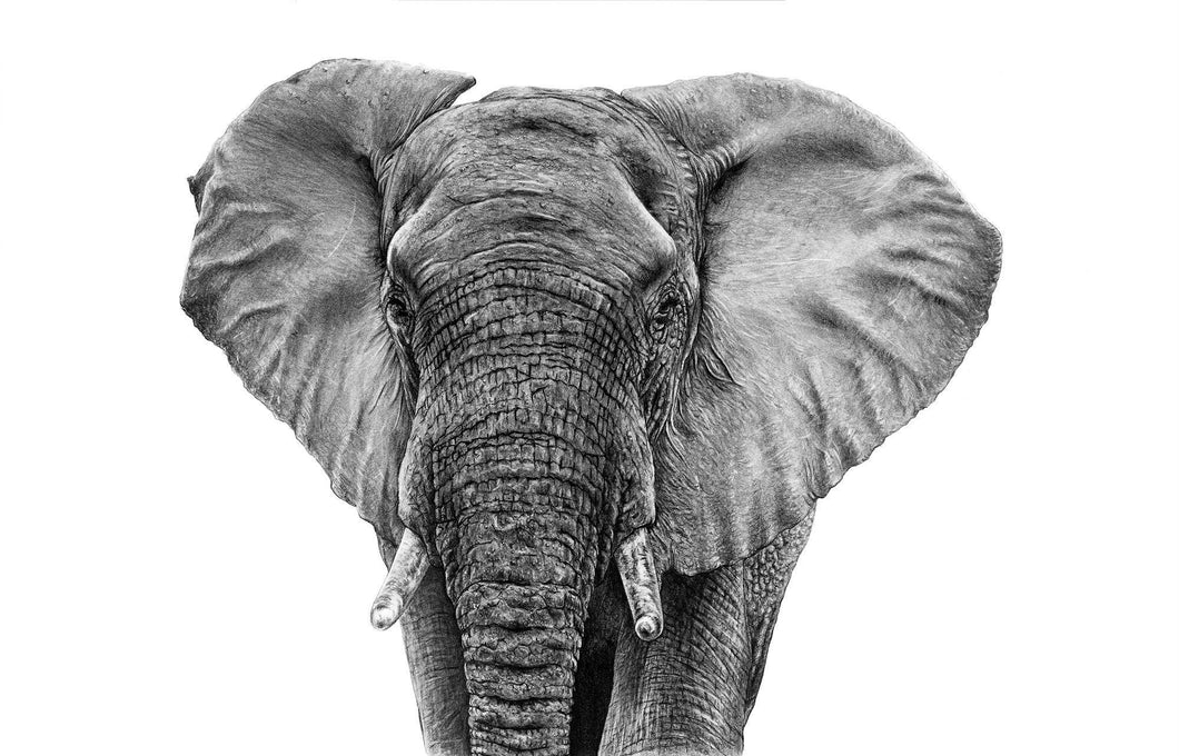 A2 elephant print pencil artwork giclee reproduction male bull pachyderm art A2 size