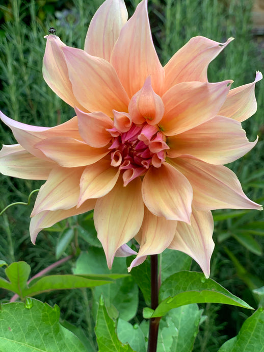 01/10/20 Tess's dahlias and soft summer / autumn tones.