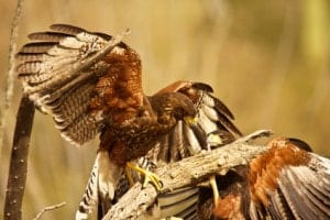 harris hawks fighting