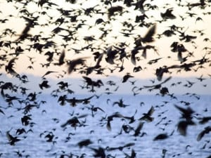 Starlings Flying In Formation