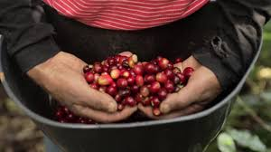 Cafe Inmaculada High Farallones Coffee Cherries